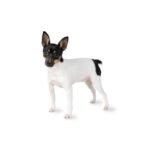 Petland Rockford Toy Fox Terrier