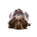 Petland Rockford German Wirehaired Pointer