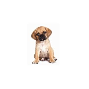 Puggle Puppies - Visit Petland Rockford in Cook County, IL