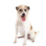 Petland Rockford Jack Russel Terrier