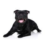 Petland Rockford Staffordshire Bull Terrier