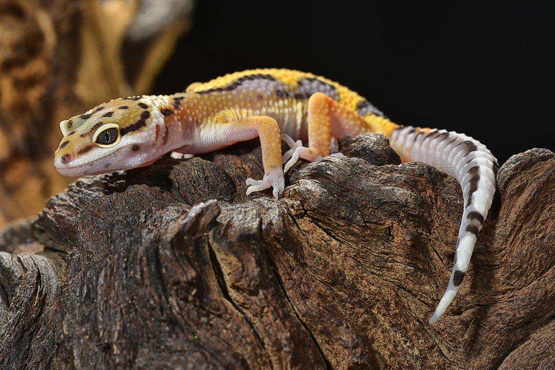 Reptiles - Petland Rockford