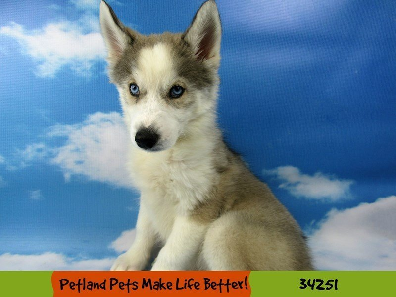 Siberian Husky-Female-Grey and White-2506909-Petland Rockford