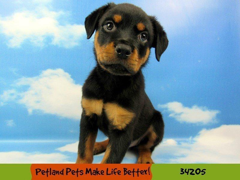 Rottweiler-Female-Black and Tan-2459121-Petland Rockford