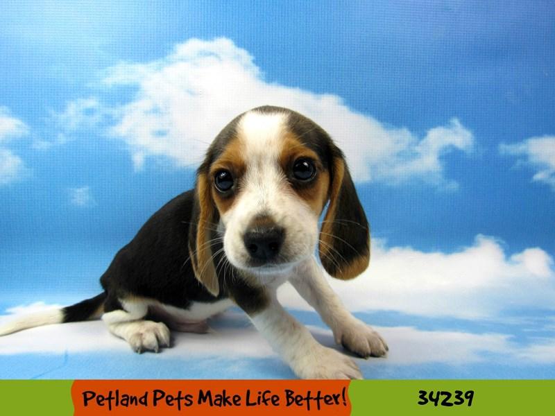 Beagle-Male-Tri-Colored-2490027-Petland Rockford