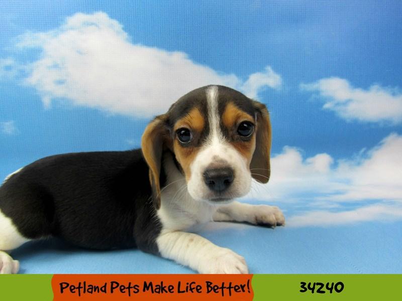 Beagle-Female-Tri-Colored-2490028-Petland Rockford