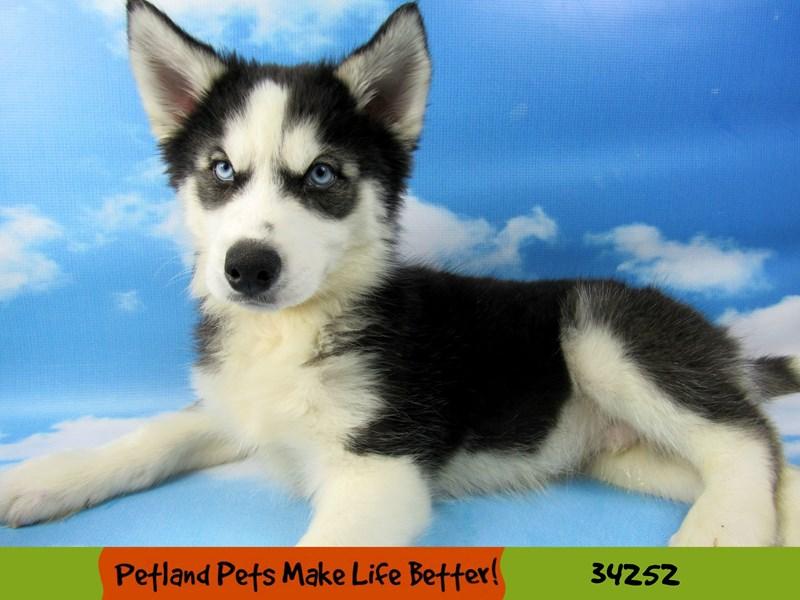 Siberian Husky-Male-Black and White-2506928-Petland Rockford