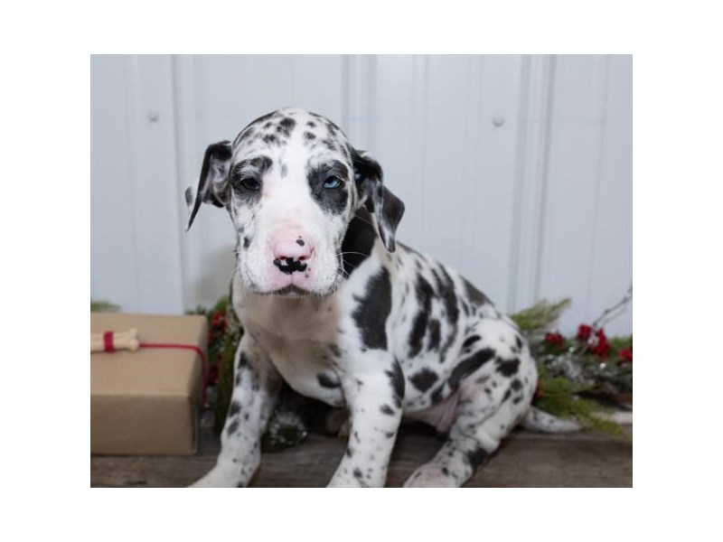 Great Dane Puppies Petland Rockford