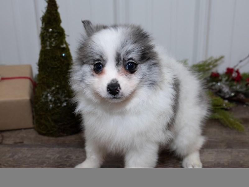 Pomeranian-Male-Blue Merle-2565854-Petland Rockford