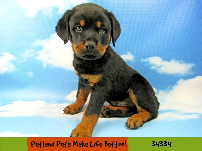 Rottweiler-Male-Black and Tan-2565131-Petland Rockford