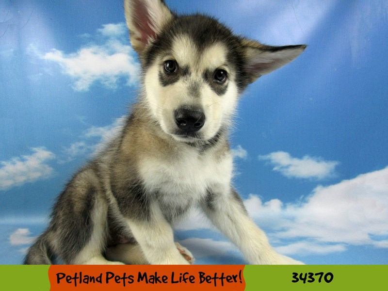 Alaskan Malamute-Male--2575837-Petland Rockford
