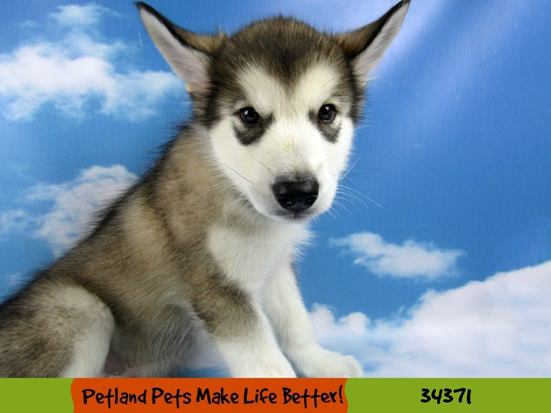 Alaskan Malamute-Male--2575838-Petland Rockford