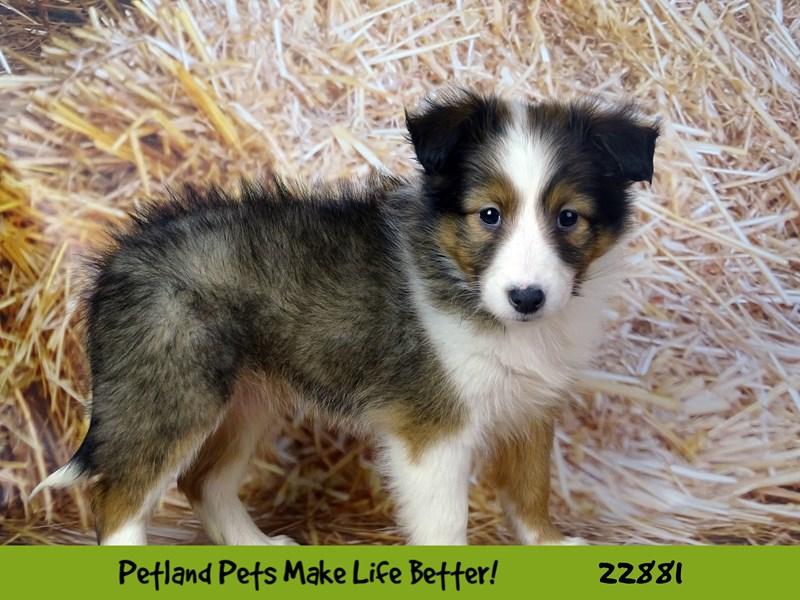 Shetland Sheepdog-Female-Sable / White-2584451-Petland Rockford