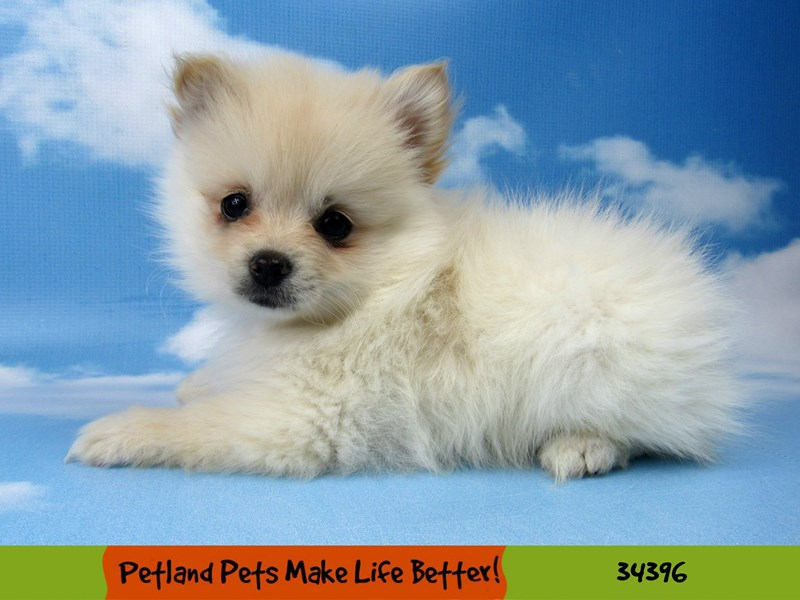 Pomeranian-Female-Cream-2592209-Petland Rockford
