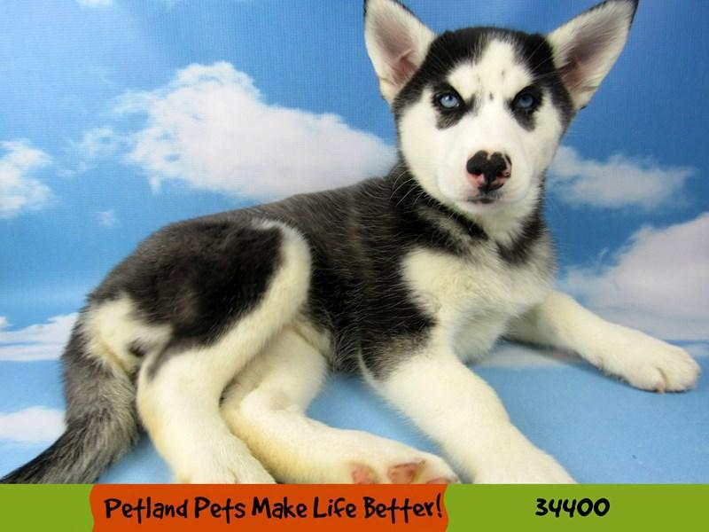 Siberian Husky-Female-Black and White-2592368-Petland Rockford
