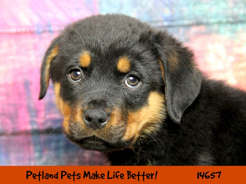 Rottweiler Puppies Petland Rockford