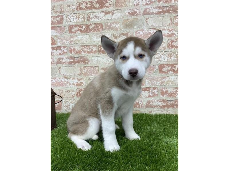 Siberian Husky-Female-Red / White-2704127-Petland Rockford
