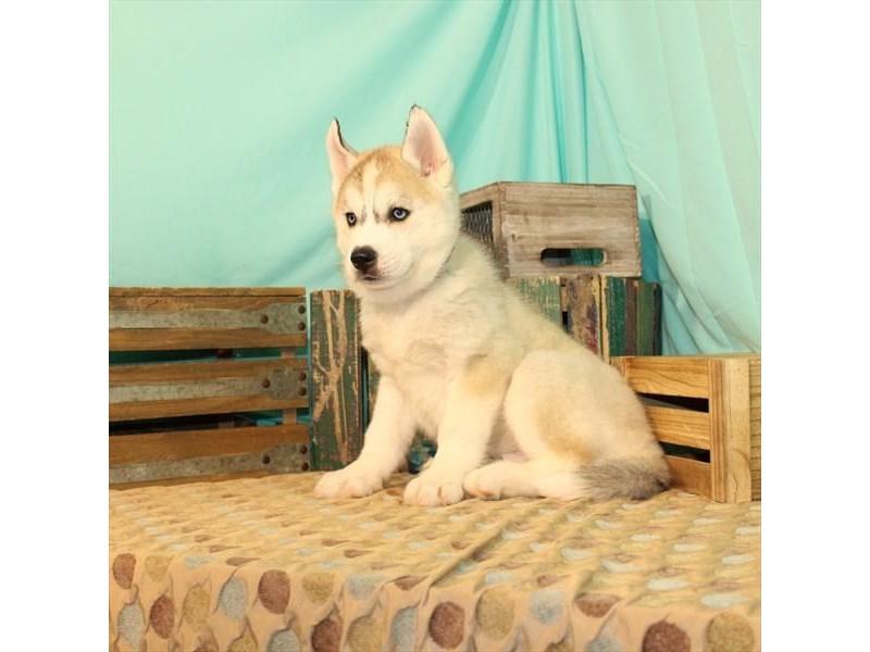 Siberian Husky-Male-Agouti / White-2708828-Petland Rockford