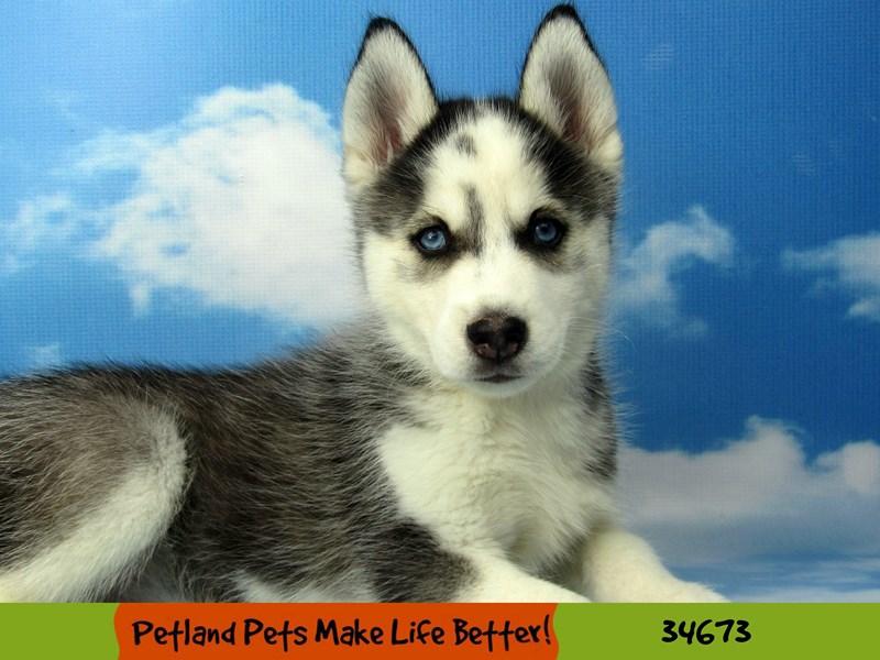 Siberian Husky-Male-Black / White-2738470-Petland Rockford