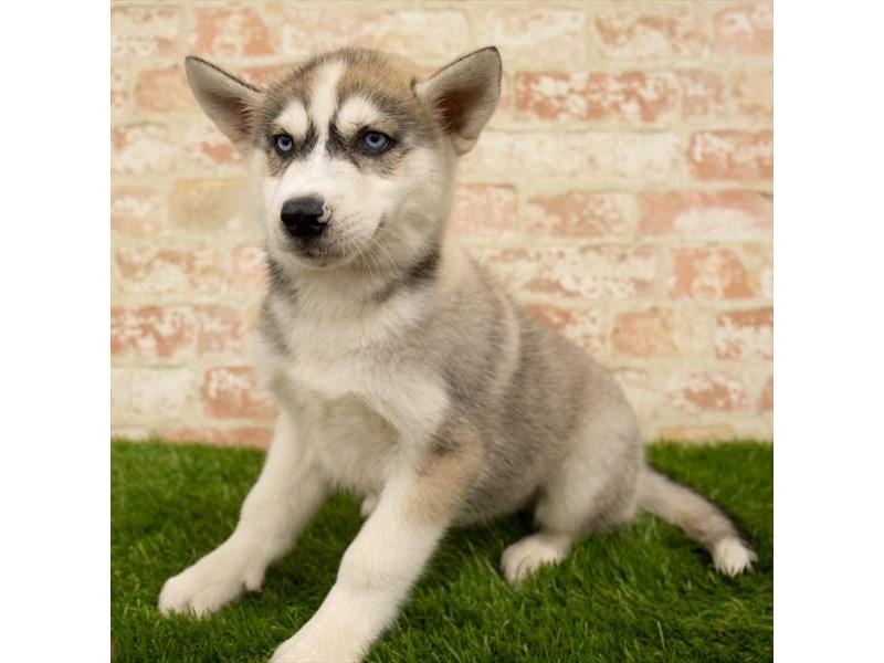 Siberian Husky-Male-Gray / White-2760785-Petland Rockford